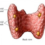 Finding the Parathyroid Gland
